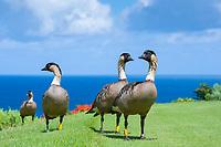 nene, or Hawaiian goose, Branta sandvicensis, endemic species, Princeville, Kauai, Hawaii, USA