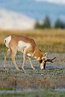 Pronghorn (Antilocapra americana) buck grazing.  Western U.S., fall.