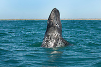 Gray whale (eschrichtius robustus) A gray whale errupts from the water. Baja California.