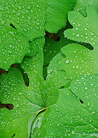 Bloodroot leaves sport raindrops after a light rain passes at Messenger Woods Nature & Forsst Preserve, Will County, Illilnois