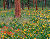 Ochoco National Forest, OR<br /> Mules-ears (Wyethia amplexicaulis) and red paintbrush blooming among ponderosa pines at Big Summit Prairie in the Ochoco mountains