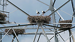 A group of storks make their nests in an unusual spot - high up a pylon.  Nine of the nests can be seen scattered 80ft up the electricity pylon, blocking off ladders used by maintenance workers.<br /> <br /> In total, 18 white storks have made their homes on the pylon in the Dutch village of Hurwenen and the birds typically lay three to five eggs per nest.  SEE OUR COPY FOR DETAILS.<br /> <br /> Please byline: Albert Beukhof/Solent News<br /> <br /> © Albert Beukhof/Solent News & Photo Agency<br /> UK +44 (0) 2380 458800