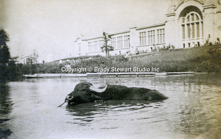 St Louis MO:  A view of a water buffalo taking a dip in front of the Palace of Agriculture during the Louisiana Purchase Exposition.