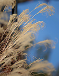 Ornamental grass, outside Gerard Hall. Photo by Nathan Latil/Ole Miss Communications