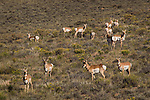 Pronghorn Antelope, Dixie National Forest, Utah