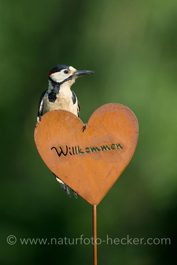 Buntspecht, sitzt auf Gartendeko, Bunt-Specht, Specht, Spechte, Dendrocopos major, Great Spotted Woodpecker, male, Woodpeckers, Pic épeiche. Willkommen, Willkommens-Herz