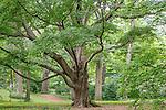 Maple grove at the Arnold Arboretum, Boston, Massachusetts, USA