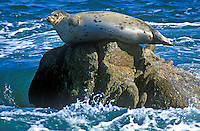 Harbor Seal resting on rock, Monterey Bay, California