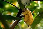 Tumbando el cacao.  Chuao. Estado Aragua. Venezuela. © Juan Naharro