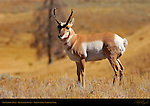 Pronghorn Male, Blacktail Ponds, Yellowstone National Park, Wyoming