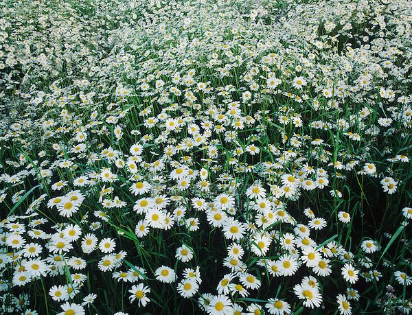 Oxeye Daisy, Leucanthemum vulgare, blooming, Fretterans, France, Europe