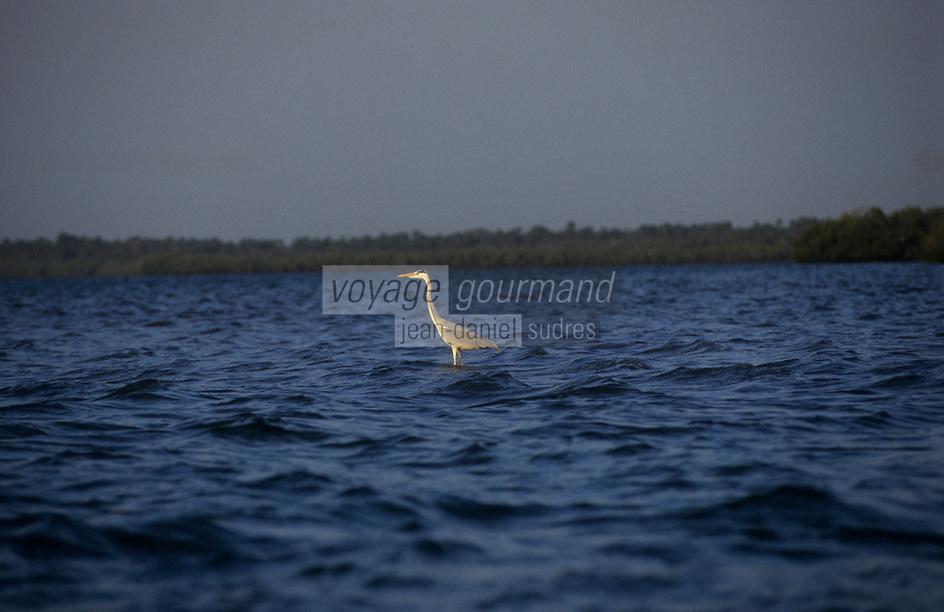 Afrique/Afrique de l'Ouest/Sénégal/Parc National de Basse-Casamance : Héron cendré dans les bolons