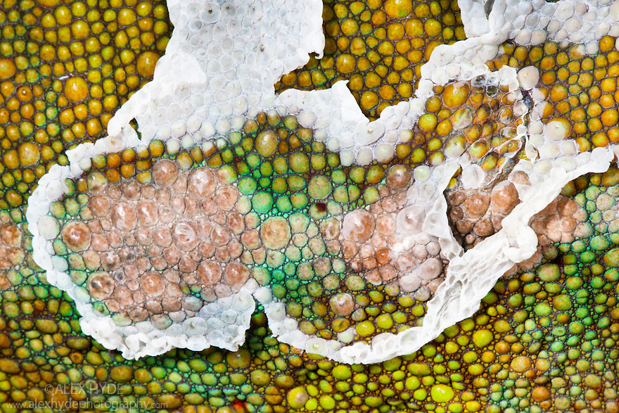 Panther chameleon {Furcifer pardelis}, showing close-up of skin in process of being shed. Madagascar.