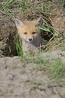 Red Fox Kit peering out of its den