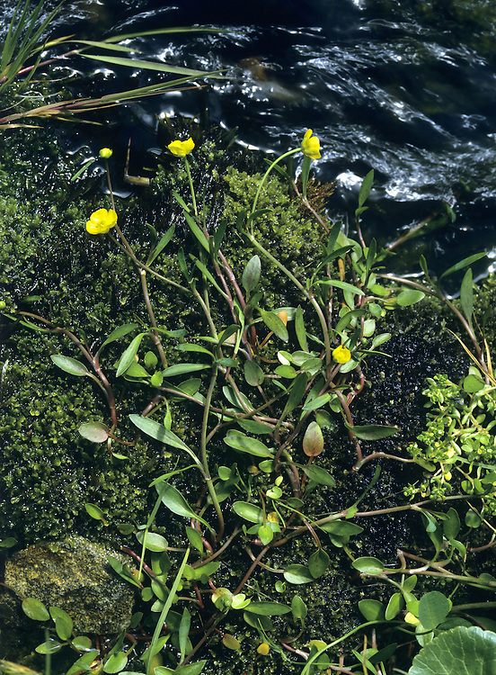 LESSER SPEARWORT Ranunculus flammula (Ranunculaceae) Height less than 50cm. Upright or creeping perennial. Often roots where leaf nodes touch the ground. Favours damp ground, often beside rivers. FLOWERS are 5-15mm across and usually solitary; borne on furrowed stalks (Jun-Oct). FRUITS are beaked but not winged. LEAVES are oval (basal leaves); stem leaves are narrow.