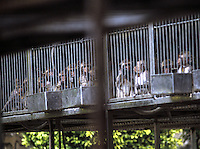Rhesus macaques in cages at the Jinghong (Yunnan) Primate Center in Yunnan Province, close the Vietnamese border, China. The monkey farm that breeds 14 species of monkey is located on an island in the Mekong River...SINOPIX PHOTO