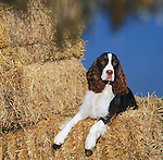 english springer spaniel in the hay<br />