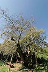 Israel, Jerusalem Mountains. Kermes Oak (Quercus Caliprinos) on Mount Tzuba