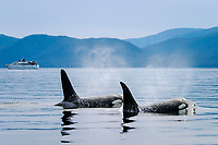 Adult Orca - also called Killer Whale -, Orcinus orca, surfacing near whale watching yacht in the calm waters of Southeast Alaska, USA.