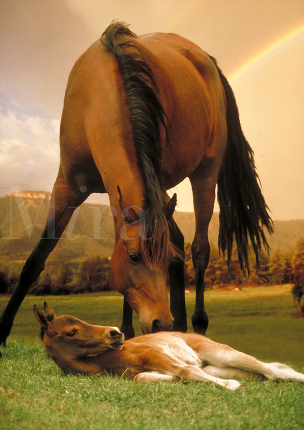Arabian mare nuzzles her lying foal with rainbow and mountain in backround. vertical. horse, horses, photo montage, animals, special effects.