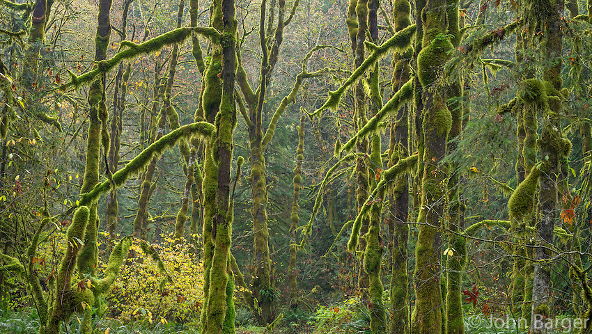 ORCAN_D232 - USA, Oregon, Cascade Range, Wildwood Recreation Site, Autumn forest with lush moss clinging to alder and maple trees.