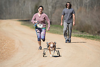 Dr. Maria Perez, a neurology resident in the Department of Clinical Sciences at Mississippi State's College of Veterinary Medicine participated Saturday [March 5] in a 5K Dog Dash with her dog Cayla. Since being rescued and rehabilitated by Dr. Perez in 2002 after being hit by a car, 14-year-old Cayla is all smiles as she runs with help from her dog wheelchair. Most of the proceeds from the race sponsored by the Rho Chapter of Alpha Psi Fraternity at MSU were donated to the college's Safe Haven for Pets program.<br />