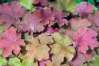Heuchera 'Caramel' orange peach purple gold in August