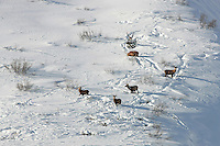 Several red deer stags standing in the snow