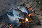 Pará State, Brazil. Three piranha fish grilling on an open fire.