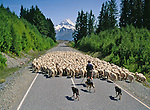 Mob of sheep on the Mount Cook Road. Mackenzie Country. Canterbury Region. New Zealand.