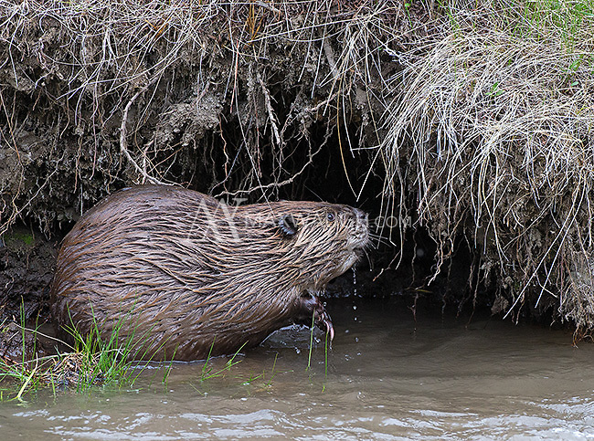 We had a brief but nice photo shoot with this beaver when it stopped to forage for willows and roots in the Lamar Valley.