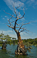 Dead Cypress tree on Reel Foot Lake Tiptonville, TN.