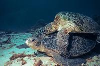 green sea turtle, Chelonia mydas, mating, Sipadan, Borneo, Malaysia, Pacific Ocean