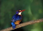 African Pygmy Kingfisher, Ispidina picta, on branch, Abuko Nature Reserve, West Africa. .Gambia....