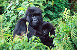 Mountain Gorilla and baby, Volcanoes National Park, Rwanda