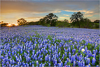 This is another image of Texas bluebonnets from the Hill Country near San Saba. The sunset was beautiful and the aroma of bluebonnets stayed with me for the long ride home.