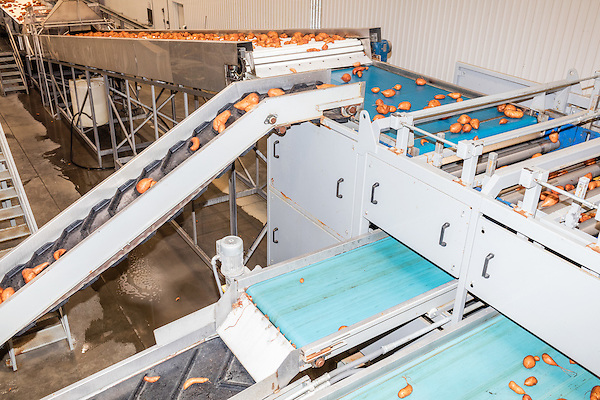 August 22, 2016. Wilson, North Carolina<br />  Sweet potatoes are sent up the line after being washed in the packing house of Vick Family Farms. <br /> Vick Family Farms uses Greenlight provided broadband to monitor its tobacco drying barns as well as run its large sweet potato operation. If they lose the network due to recent legal suits brought by the telecom industry on the city of Wilson, who provides the fiber optic broadband, they may be unable to run the business with near the level of efficiency.<br />  Greenlight Community Broadband is a fiber optic internet service provider owned by the city of Wilson, NC. Popular with residents for its reliability and speed, the city started offering the service to towns outside of its municipal limits before a court case brought by the telecom industry took away the city's ability to expand beyond its borders. Several businesses and residents who have come to rely on the utility fear for their livelihoods if the service is discontinued.