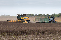 Harvesting beans in South Lincolnshire<br /> &copy;Tim Scrivener Photographer 07850 303986<br />      ....Covering Agriculture In The UK....