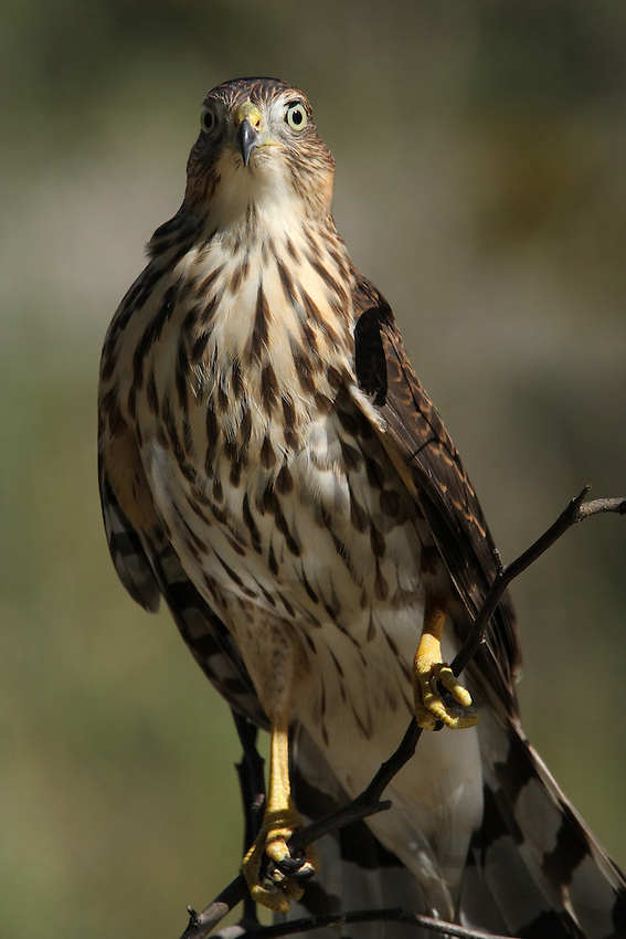 Side lit Cooper's Hawk in an erect posture. Up close there's a very impressive air of dignity, power, & beauty.