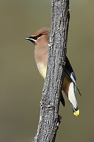 Cedar Waxwing (Bombycilla cedrorum) perching on a branch at Perch Dam State Park, Caballo, New Mexico