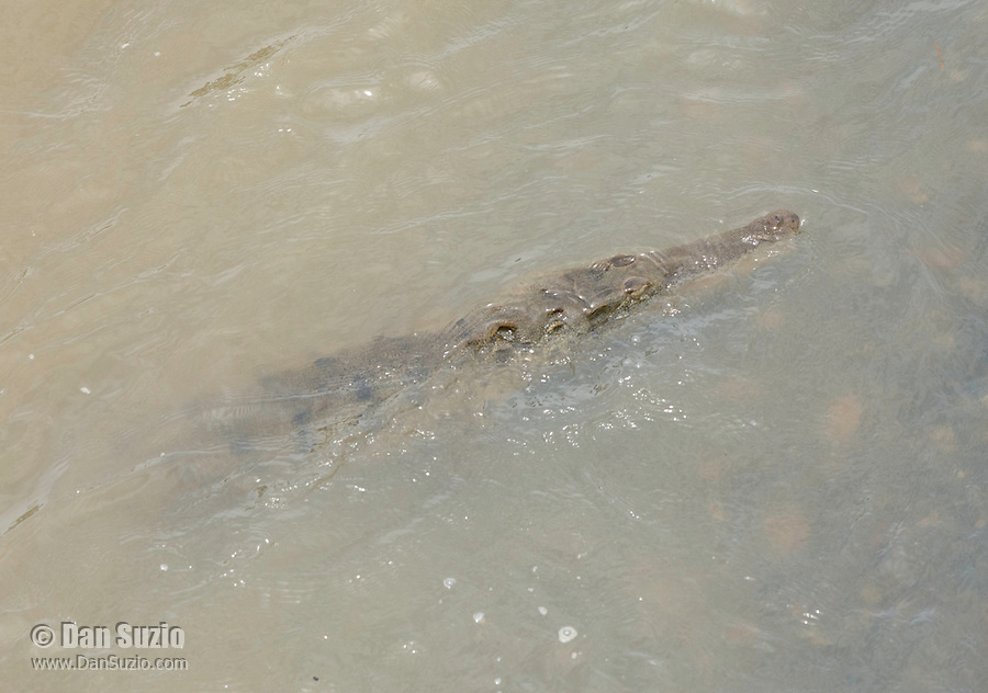 American Crocodile, Crocodylus acutus, swims in the Tarcoles River, Costa Rica. Listed as Vulnerable in the IUCN Red List of Threatened Species.