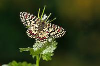 Spanischer Osterluzeifalter, Westlicher Osterluzeifalter, Zerynthia rumina, Spanish Festoon, La Proserpine