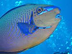 Blue Corner, Palau -- Close-up of a Bignose Unicornfish swimming by.
