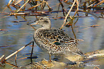 DUCKS, blue-winged teal, anas discors,