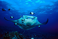 A manta ray, Manta birostris, gets a cleaning from blacklip butterflyfish, Chaetodon kleinii, and Hawaiian cleaner wrasse, Labroides phthirophagus (endemic). Hawaii.