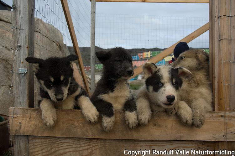 Grønlandshund, hvalper ---- Greenland dog, puppy