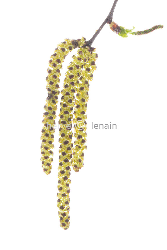 male flowers or catkins of Silver Birch (Betula pendula) // châtons mâles ou fleurs mâles de bouleau commun ou bouleau verruqueux (Betula pendula).