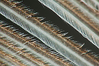 Feder eines Sperber, Vogelfeder, Konturfeder bestehend aus einem langen und festen Federkiel (Scapus) sowie einer Federfahne (Vexillum), vom Federschaft gehen nach vorn und hinten Federäste (Barbae oder Rami) aus, von welchen jeweils wieder Bogenstrahlen (Barbulae proximales) und Hakenstrahlen (Barbulae distales) entspringen. An den Hakenstrahlen sitzen feine Häkchen, die sich mit den Bogenstrahlen des benachbarten Federastes verhaken und somit die notwendige Steifheit und Festigkeit der Federfahne herstellen, Vergrößerung unter dem Binokular, Stereolupe, Lupe, Mikroskop
