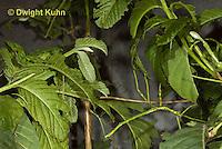 OR07-545z  Walking Stick Insect, juvenile camouflaged on tree,  Acrophylla wuelfingi