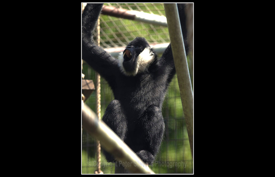 White-cheeked Gibbon (Nomascus leucogenys leucogenys) - Zoological Society of London - 15th June 2003
